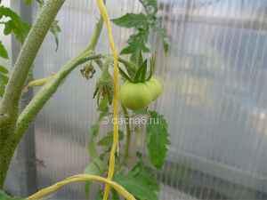 Когда созревают первые помидоры