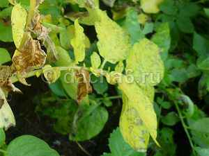 Почему желтеет ботва у картофеля и что делать