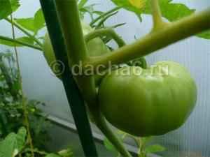 Почему не наливаются помидоры