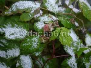 Подготовка ремонтантной малины к зиме осенью
