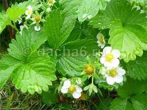 Подкормка клубники борной кислотой во время цветения