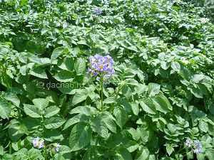 Повышение урожайности картофеля на приусадебном участке