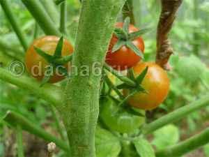 Продолжительность периода роста овощных культур