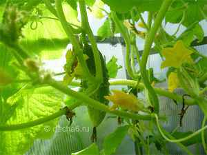 Самые урожайные сорта огурцов для теплиц