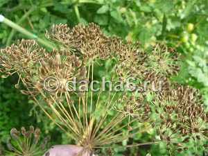Семена укропа: лечебные свойства и противопоказания для женщин и мужчин