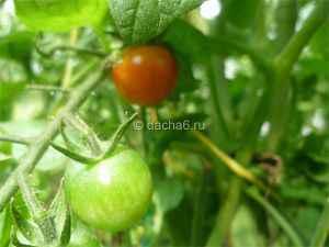 Сорта и гибриды томатов для теплиц, устойчивые к фитофторе