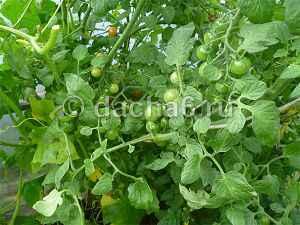 Удаление нижних листьев у томатов в открытом грунте и теплице