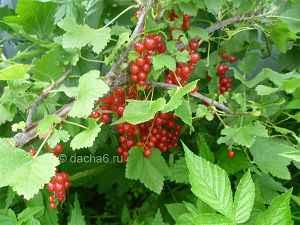 Выращивание красной смородины, посадка и уход